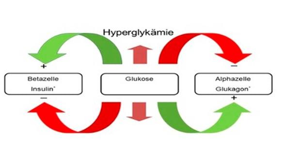 Modulatoren der Glukose-Homöostase: Die Insulin- und Glukagon-Sekretion werden durch zahlreiche Nährstoffe, Hormone und neuralen Funktionen beeinflusst. Quelle modifiziert nach: Berne RM, et al., eds. Physiology. St. Louis, Mo: Mosby, Inc;1998: 822–847.